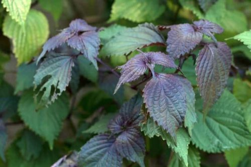 Tía tô được xem là loại cây trị mẩn ngứa phổ biến nhất ở Việt Nam